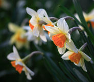 Een bos van gele narcis Royalty-vrije Stock Foto