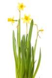 Een bos van gele narcissen die op wit worden geïsoleerdo Royalty-vrije Stock Afbeelding