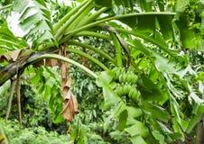 Een bos van groene bananen op een boom stock foto's