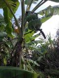 Een bos van groene bananen Zij kijken groot stock foto's