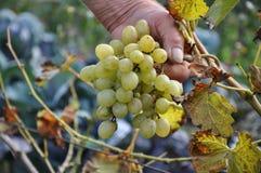 Een bos van groene druif in een hand van een hogere landbouwer stock foto