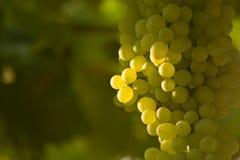 Een bos van Groene Druiven (2) Royalty-vrije Stock Foto's