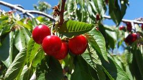 Een bos van heerlijke sappige rijpe rode kersen op een boom in een boomgaard Stock Fotografie