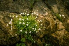Een bos van het bloeien silene alpestris Royalty-vrije Stock Foto