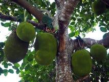 Een Bos van Jackfruits op de Boom in het Landbouwbedrijf stock afbeelding