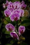 Een Bos van Mooi wit-Purpled de hybride orchidee van Phalaenopsis Stock Foto's