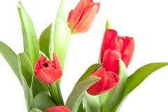 Een bos van mooie rode tulpen Stock Foto
