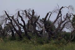 Een bos van olijf Stock Afbeeldingen