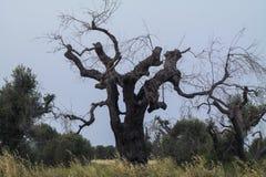 Een bos van olijf Royalty-vrije Stock Foto's