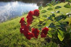 Een bos van rode rozen op een struik De achtergrond is een vijver stock fotografie