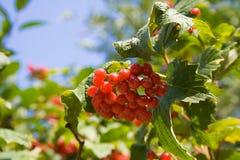 Een bos van rode viburnum Stock Foto