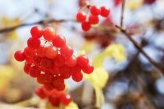 Een bos van rode viburnum op een tak Royalty-vrije Stock Foto