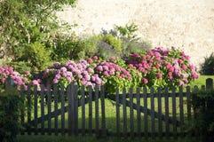 Hydrangea hortensia's achter een Houten Poort Stock Fotografie