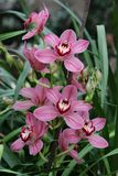 Een bos van roze Cymbidium-orchideeën stock foto