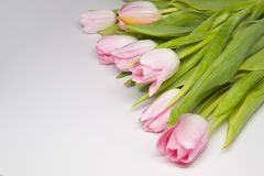 Doorboor tulipes Stock Afbeelding