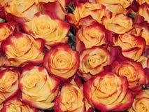 Een bos van rozen als bloemachtergrond Royalty-vrije Stock Afbeeldingen