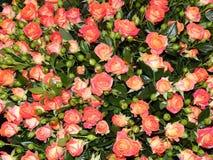 Een bos van rozen als bloemachtergrond Stock Fotografie