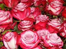 Een bos van rozen als bloemachtergrond Royalty-vrije Stock Foto's