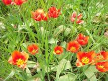 Een bos van tulpen stock foto