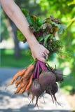 Een bos van verse wortelen en bieten met greens in landbouwers` s hand stock foto