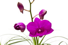 Een bos van violette orchidee Dendrobium Royalty-vrije Stock Afbeelding