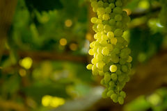 Een bos van Witte Druiven Stock Foto