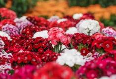 Een bos van Zoete William Dianthus-barbatus bloeit, rood, roze Stock Afbeeldingen