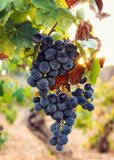 Een bos van zwarte purpere druiven die van een wijnstok hangen stock foto's