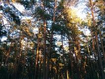 Een bos in zonsondergang ligt Royalty-vrije Stock Foto's