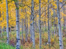 Een bosje van espbomen met daling kleurt dichtbij Esp, Colorado stock foto's