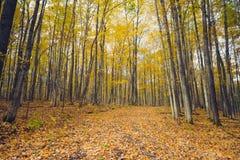 Een bosweg door gouden de herfstgebladerte royalty-vrije stock fotografie