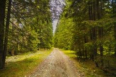 Een bosweg met pijnboombomen in de bergen in Karpatisch Royalty-vrije Stock Foto's