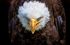 Een boze Noordamerikaanse kale adelaar stock afbeeldingen
