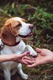 Een Brakhond geeft een Poot stock foto