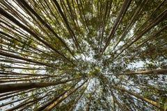 Een brede engel van eucalyptusbomen met perspectief stock afbeeldingen