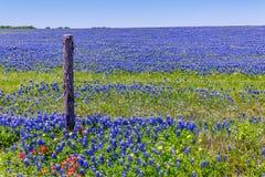 Een Brede Hoekmening van een Stevig Blauw Gebied van Texas Bluebonnets Royalty-vrije Stock Foto