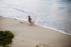 Een bruin-grijze duif loopt langs het gele zand van de kust Royalty-vrije Stock Afbeelding