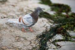 Een bruin-grijze duif loopt langs het gele zand van kustca Royalty-vrije Stock Afbeeldingen