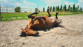 Een bruin jong paard ligt op zijn rug Paardgymnastiek voor de rug stock videobeelden