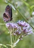Een bruin ligeavoer van vlindererebia op de nectar van een bloem stock foto's