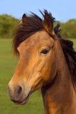 een bruin paard Royalty-vrije Stock Foto's