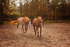 Een bruin paard die in een landbouwbedrijf met paarden, bos en weide als achtergrond weiden Royalty-vrije Stock Fotografie