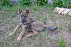 Een bruin puppy van straathonden in een kraag ligt op de grond in het gras en ziet vooruit eruit stock foto's
