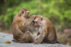 Een bruine aap die vlooien en tikken in het wijfje controleren stock fotografie