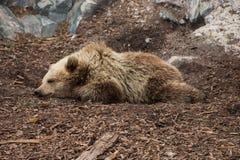 Een bruine beer in de dierentuin Stock Foto's