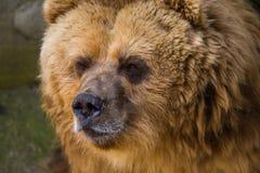 Een bruine beer in de dierentuin Royalty-vrije Stock Afbeelding