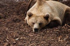 Een bruine beer in de dierentuin Royalty-vrije Stock Afbeeldingen