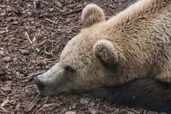 Een bruine beer in de dierentuin Stock Fotografie