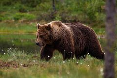 Een Bruine beer die op een peatland in Oostelijk Finland loopt stock foto