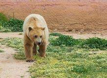 Een bruine beer in een dierentuin Royalty-vrije Stock Afbeelding